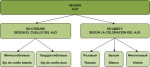 схема сортовых групп чеснока