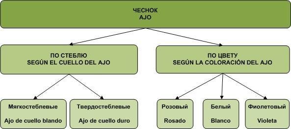 klassifikatsiya sortov chesnoka v ispanii