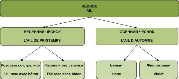 klassifikatsiya sortov chesnoka vo frantsii
