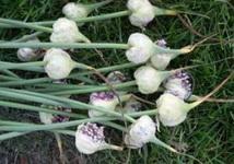 semena-chesnoka-vozdushka-bulbochki