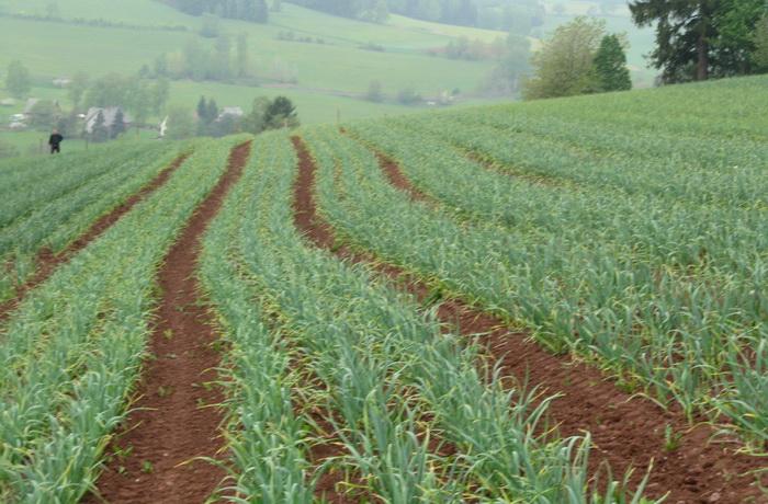 рядки чеснока на поле