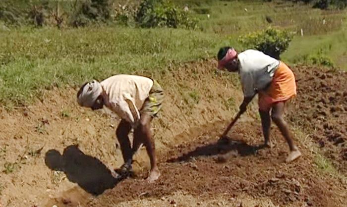 индийские женщины обрабатывают поле перед посадкой чеснока