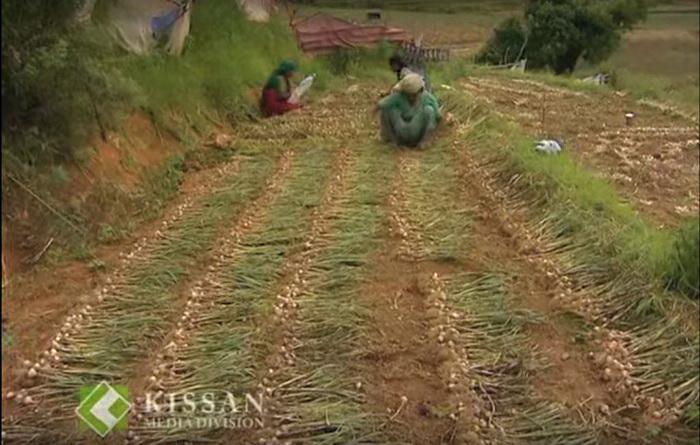 Индийские мужчины и женщины собирают на поле урожай чеснока