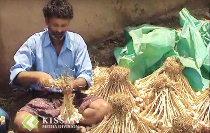 Мужчина вяжет чеснок в пучки