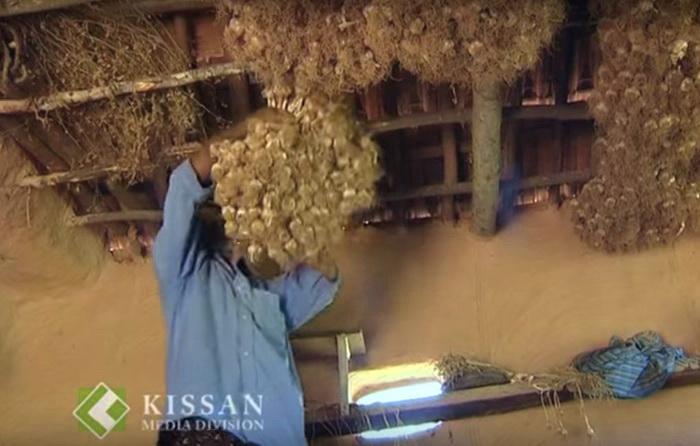 Мужчина цепляет вязку чеснока для просушивания под потолком