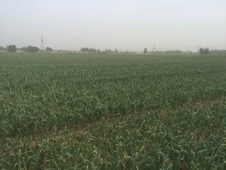 Поле чеснока в Китае