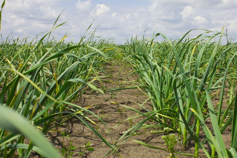 побеги зеленого чеснока на украинском поле в мае 2016 года на поле компании УкрАп (UkrUP)