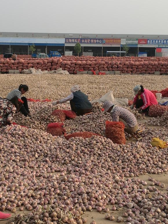 Рынок чеснока Цзиньсян, фермеры сортируютчеснок