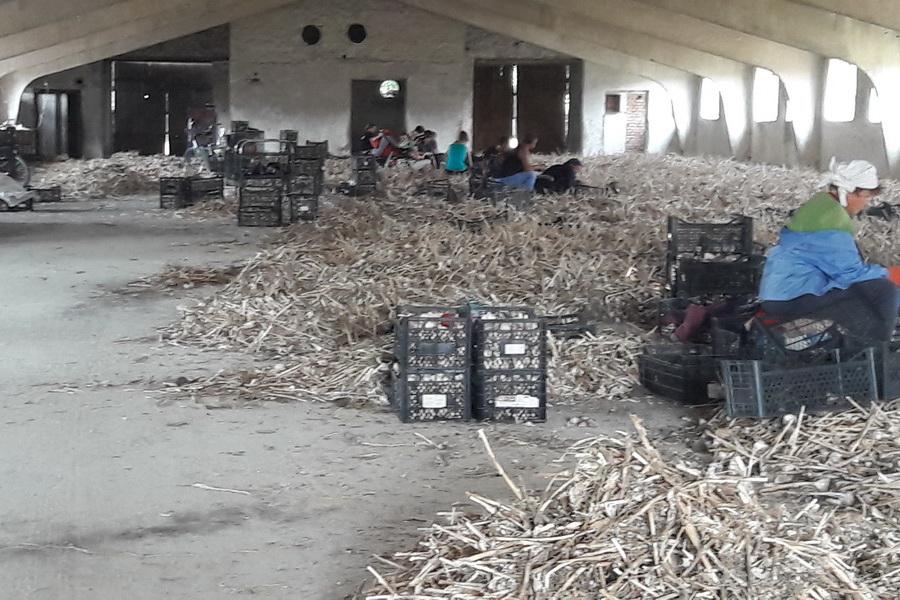 работники в складе обрезают корни и стебли чеснока после уборки. От производителя чеснока в Украине - компании УкрАП