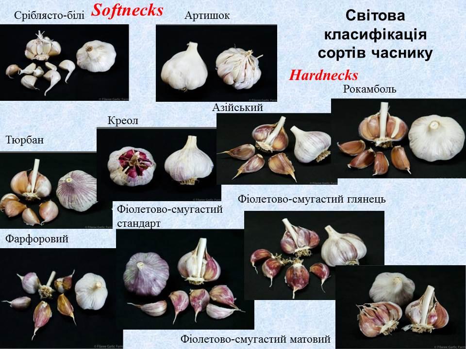 mirovaya-klassifikatsiya-sortov-chesnoka