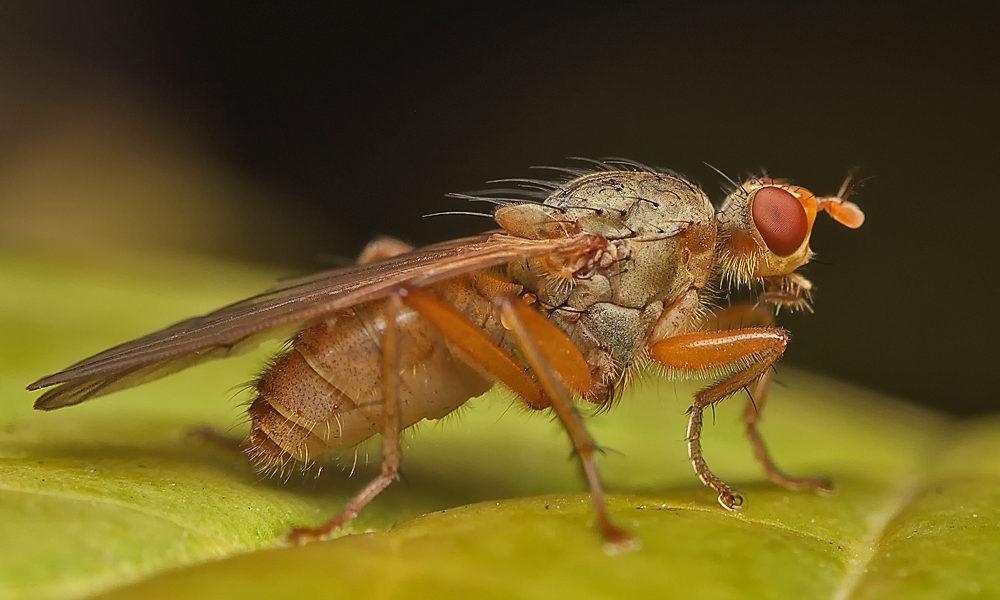 чесночная муха (часникова муха) вредитель чеснока крупным планом