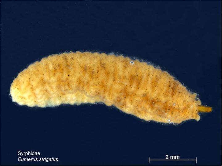 личинка луковой журчалки (цибулива дзюрчалка) муха вредитель лука и чеснока фото
