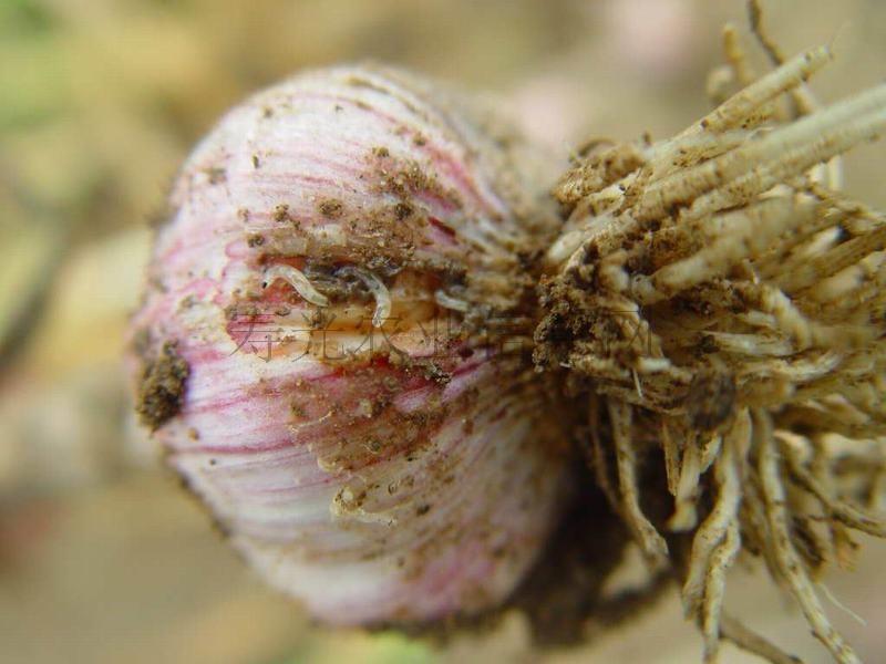 личинки луковой мухи (цибулива муха) на чесноке фото