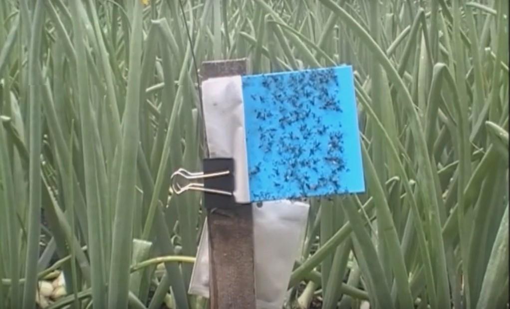 ловушка для мух на луковом поле фото