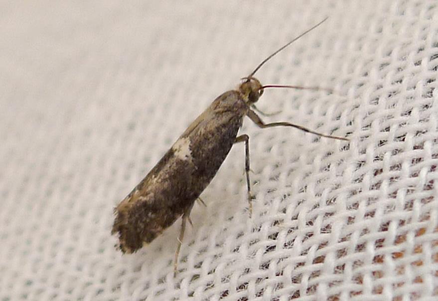 взрослая особь луковой моли (цибулева міль, Acrolepia assectella) фото