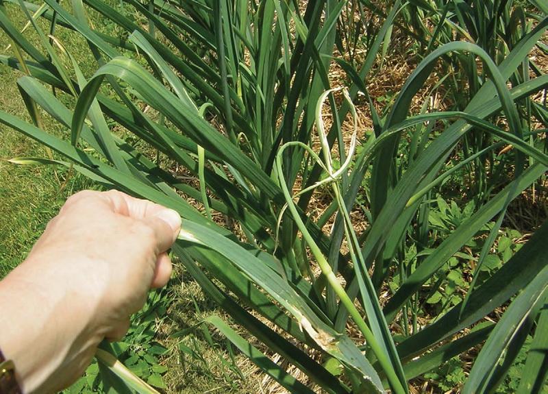 Луковая моль поредила листья чеснока (цибулива моль, Acrolepia assectella) фото