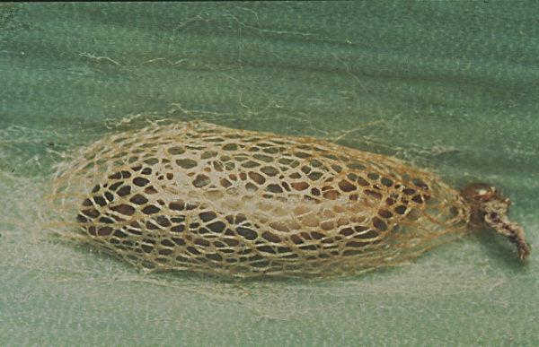 кокон луковой моли (цибулева міль, Acrolepia assectella) фото