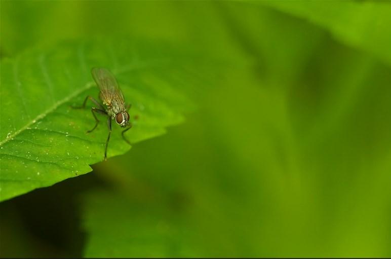 Луковая муха (цибулива муха) на зеленом листья, фото