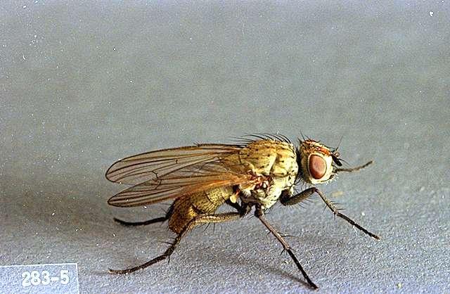 Луковая муха (цибулива муха) фото