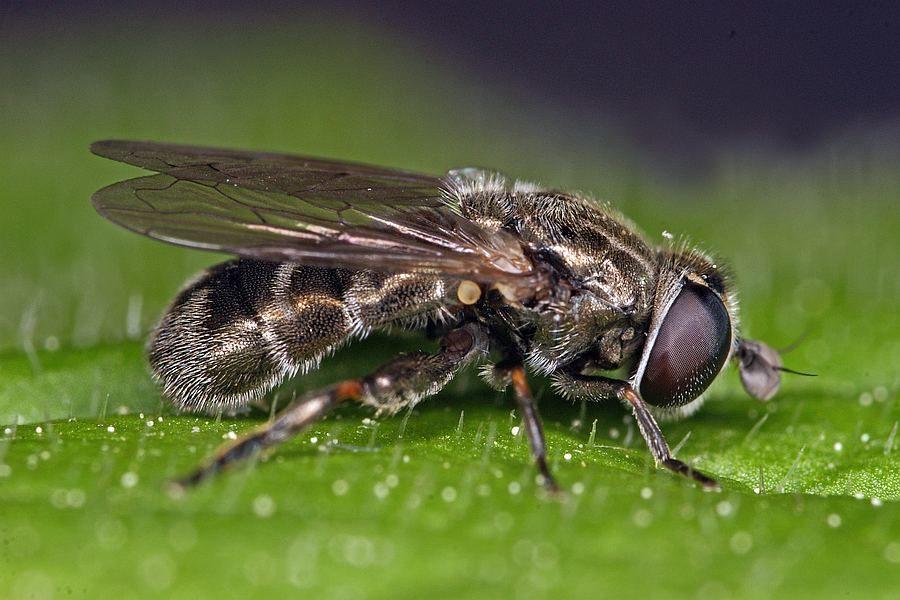 луковая журчалка (цибулева дзюрчалка) муха вредитель лука и чеснока