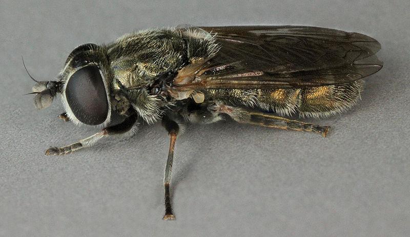 луковая журчалка (цибулива дзюрчалка) муха вредитель лука и чеснока фото
