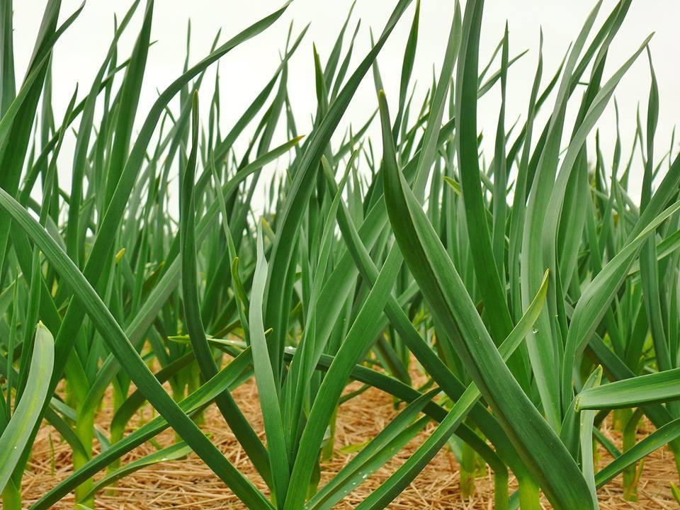 Зеленые растения чеснока на поле покрытом мульчей
