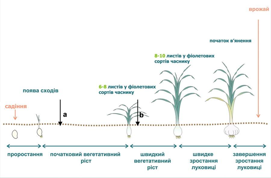 Схема внесения азотных удобрений под чеснок в зависимости от стадии роста