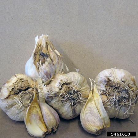 зубки чеснока пораженные нематодой, вредителем чеснока