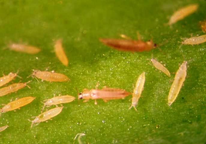 Табачный (луковый) трипс круным планом на зеленом листе. Цибулевий тріпс. Фото