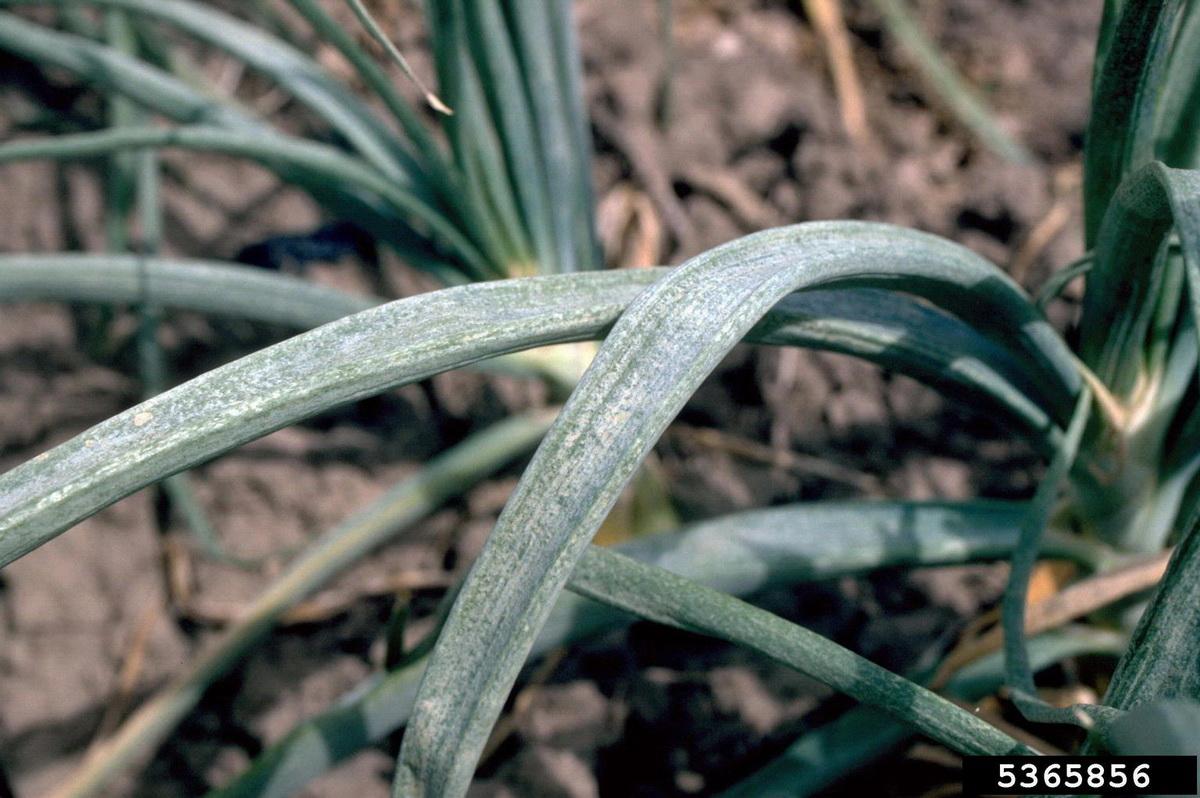 Табачный (луковый) трипс - повреждения на зеленом ростке лука. Цибулевий тріпс. Фото