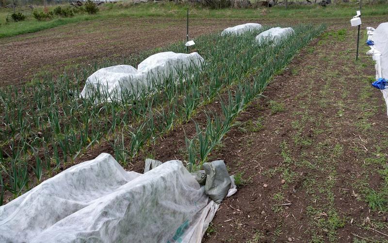 накрытие чеснока на поле тканью от вредителей: луковой моли и луковой мухи