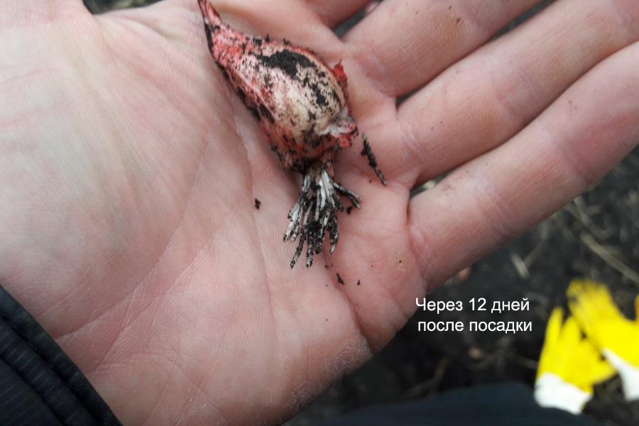 Зубчик чеснока через 13 дней после посдаки. Корни начинают прорастать из зубка чеснока