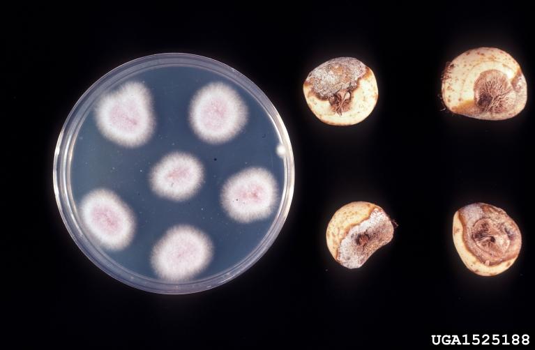 Фузариоз чеснока и лука (Фузаріоз часнику і цибулі, Fusarium garlic) колония в чашке петри и примеры поражения луковиц