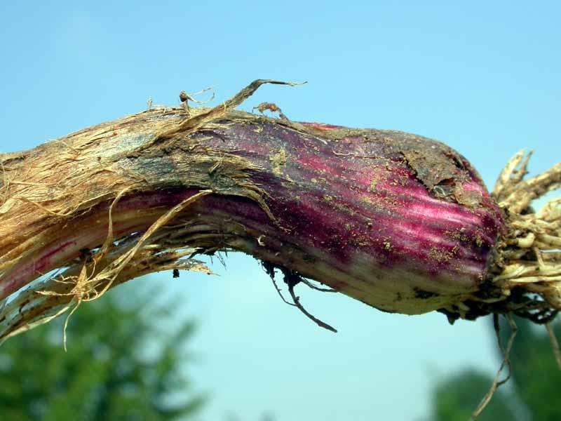 Фузариоз чеснока и лука (Фузаріоз часнику і цибулі, Fusarium garlic). Фото пораженного стебля