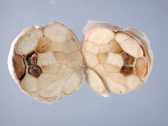 Фузариоз чеснока и лука (Фузаріоз часнику і цибулі, Fusarium garlic). Фото пораженных зубков и луковиц