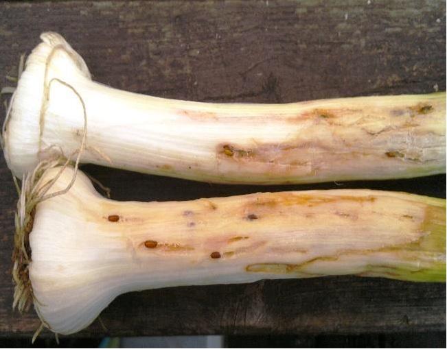 Стебель лука, поврежденный личинками лукового минера (цибулевий мінер)