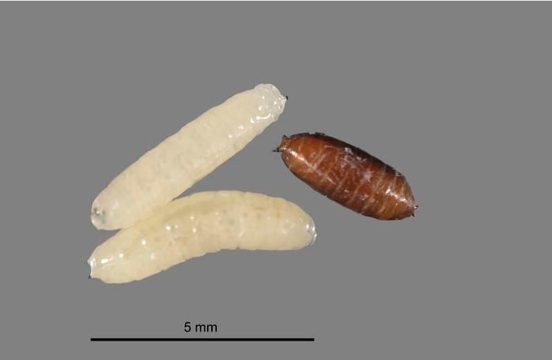 Личинка Лукового минера, вредителя чеснока и лука, фото (Цибулевий мінер)