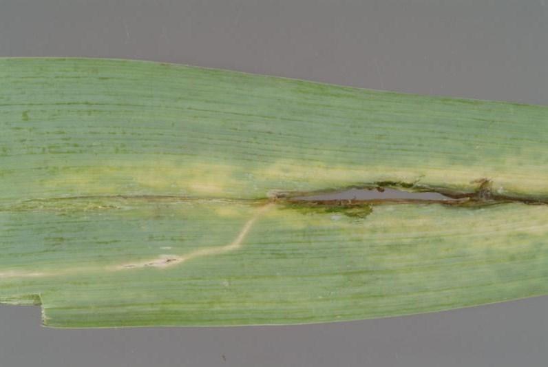Лист лука с повреждениями от личинок лукового минера, фото (Цибулевий мінер)