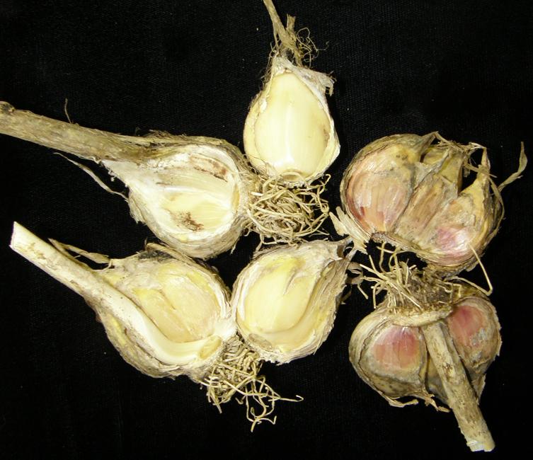 Шейковая гнилизна часнику (шийкова гниль часнику, botrytis neck rot) фото