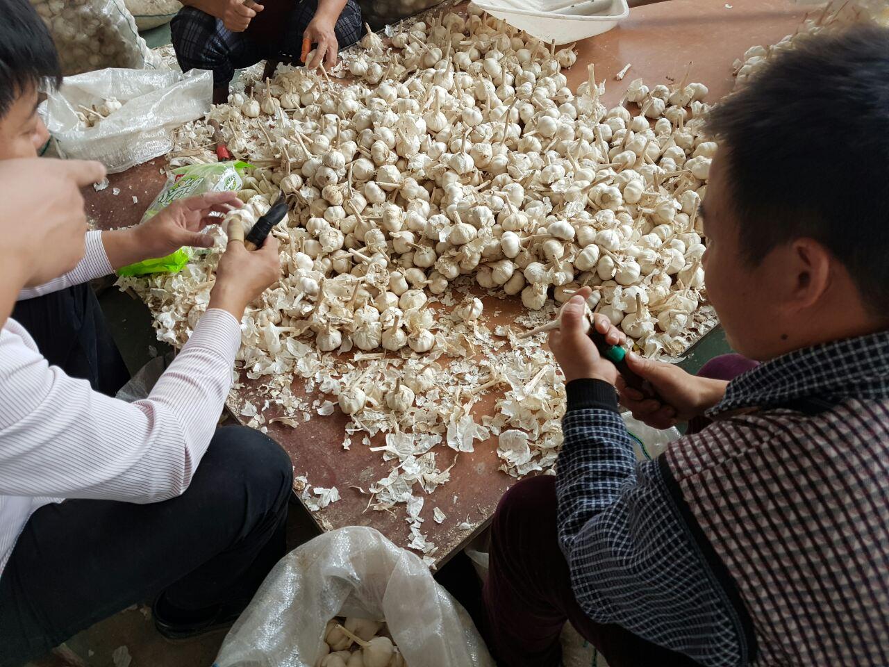 два мужчины вырезают корень на китайском чесноке