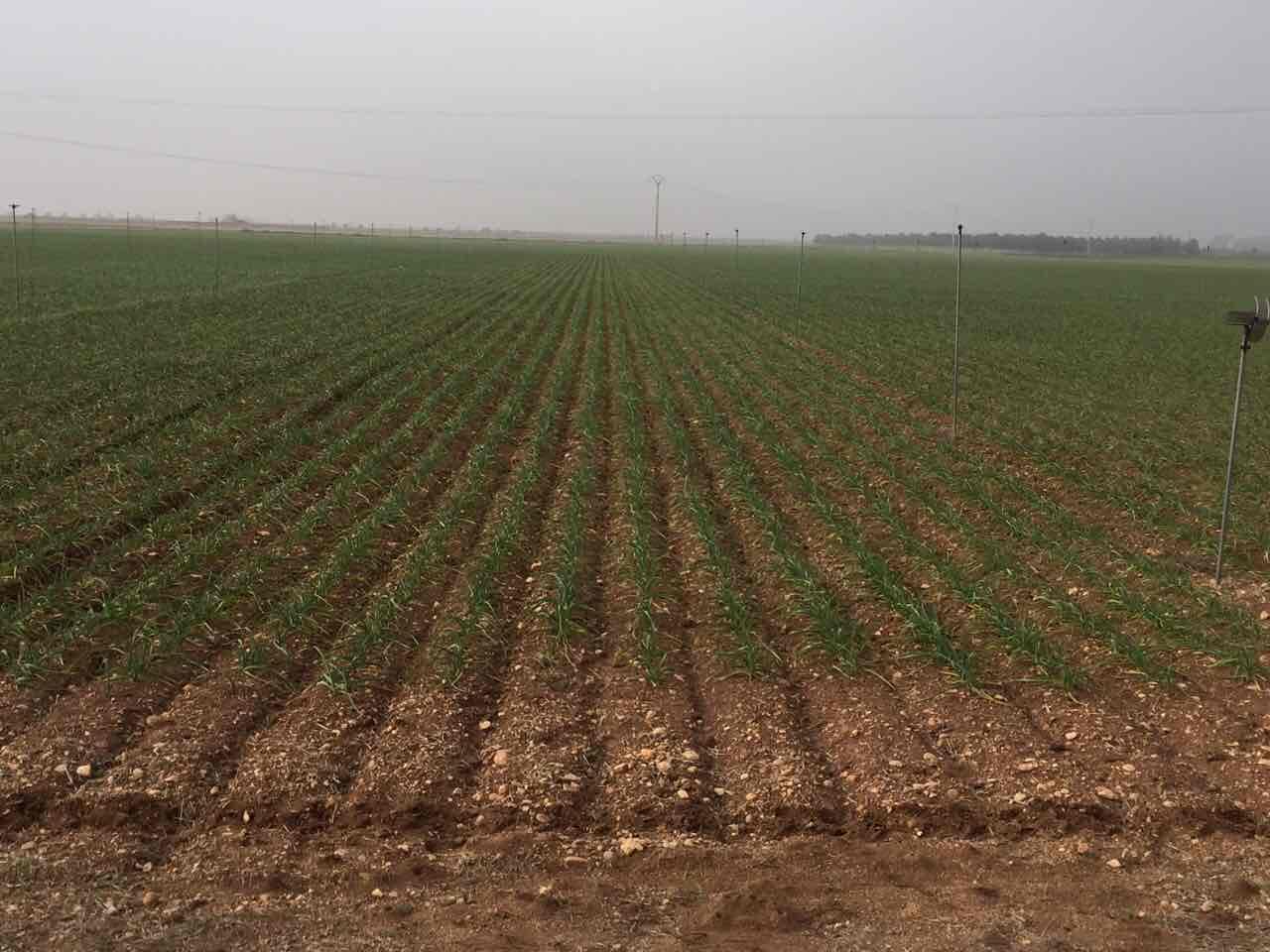 поле чеснока в Испании
