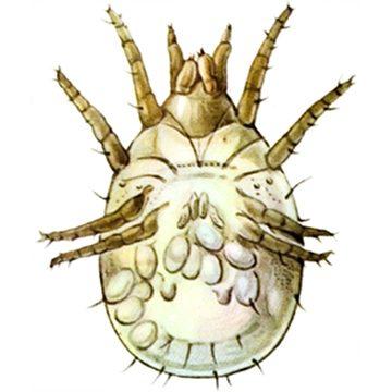Фото Корневой луковый клещ (корневой луковый клещ) Rhizoglyphus echinopus
