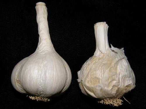 На чесноке симптомы заболевания Пенициллез чеснока. Голубая, зеленая плесневидная гниль