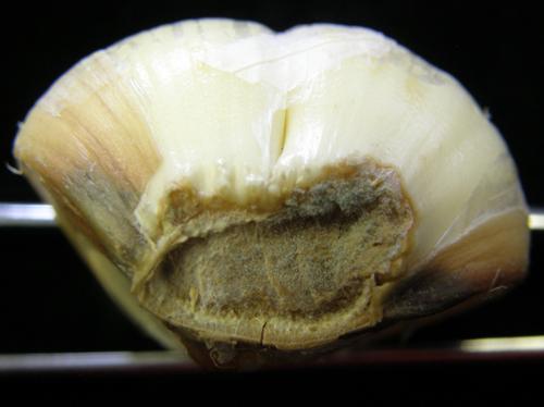 На часнику симптоми захворювання Пеніцильоз часнику. Блакитна, зелена плісень