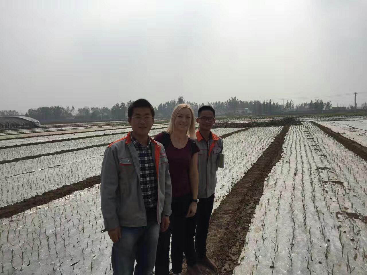 паростки часнику пробиваються через плівку. Китай, UkrUP в Китаї