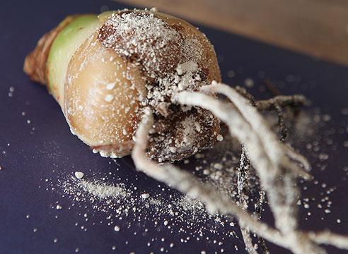 Повреждение растения корневым луковым клещем Фото (Корневой луковый клещ Rhizoglyphus echinopus)