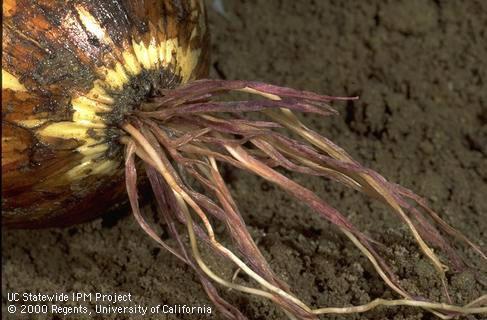 рожева гниль кореня цибулі, фото симптомів