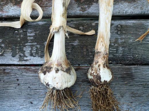 ржавчина чеснока (іржа часнику) фото сравниения луковицы со здорового растения и луковицы с зараженного
