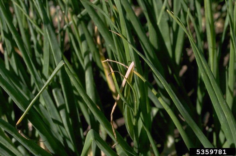 Шейковая гнилизна часнику лука фото симптомів на зелених пагонах