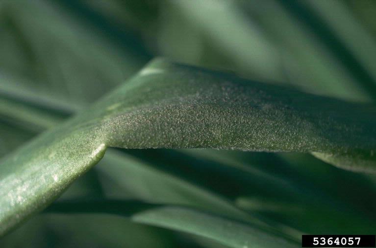 симптоми захворювання пероноспороз несправжня борошниста роса часнику і цибулі